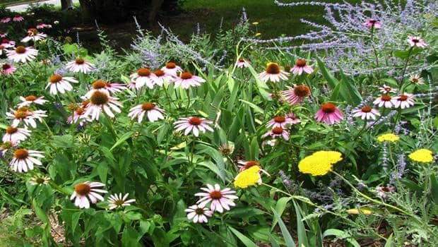echinacea-and-sage